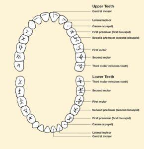 Names of Teeth
